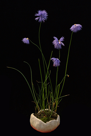 Allium sikkimense.S